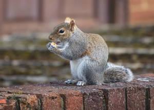 Grey Squirrel, eating