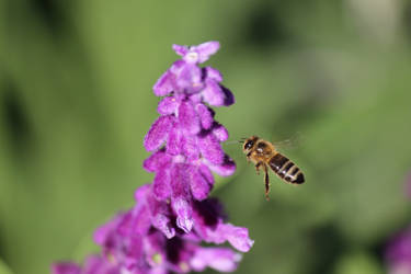 The Buzzing Bee by N-ScapePhotography