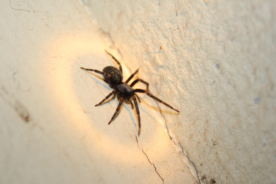 Black house spider bite images