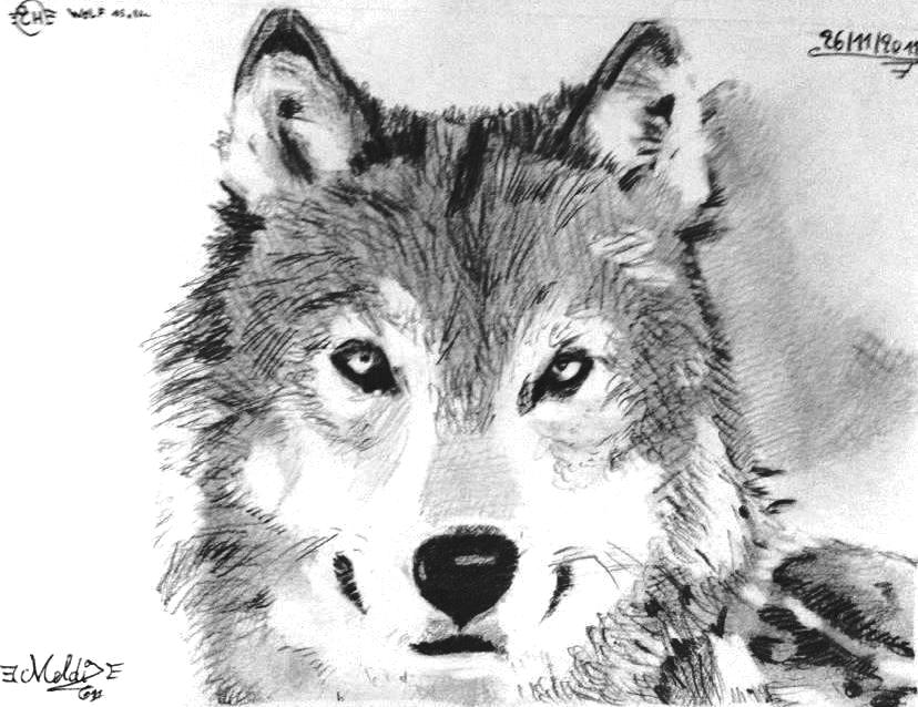 Wolf drawing by mehdiunkut