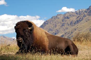 Buffalo by lscape