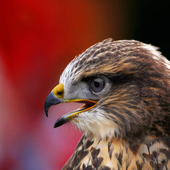 Buzzard by Z740