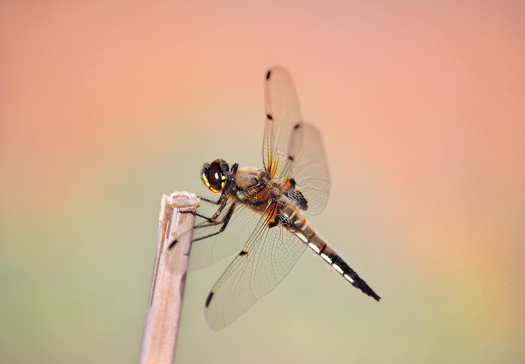 Dragonfly by Z740