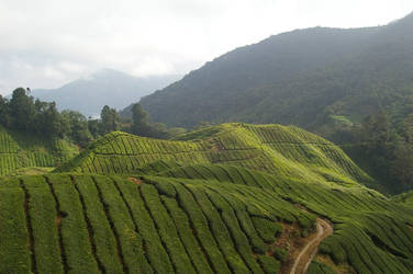 tea plantations by brandybuck
