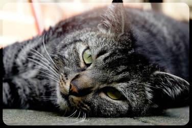 Fat Striped Cat by Trickylady