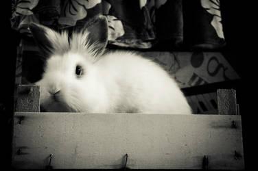 White Rabbit in Box by Trickylady