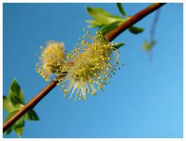 Salix caprea by ak87