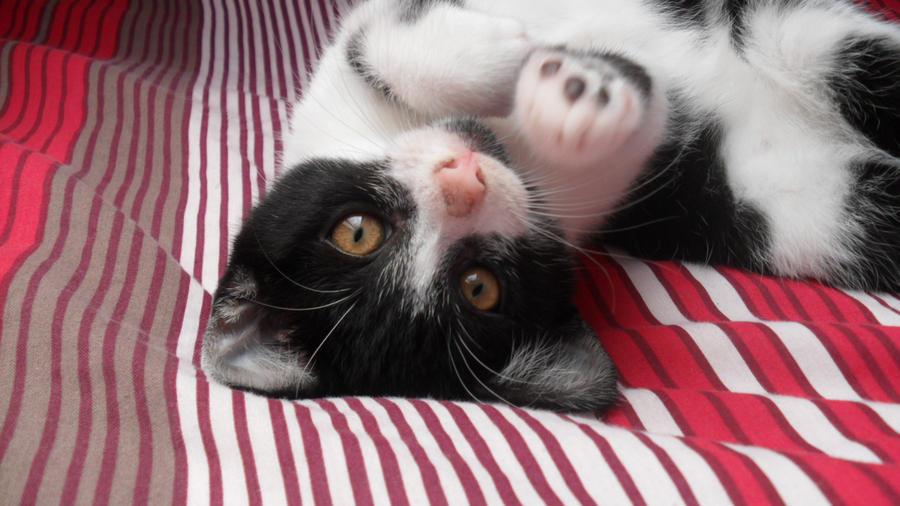 Playful Kitten by SpyroGirlCazy