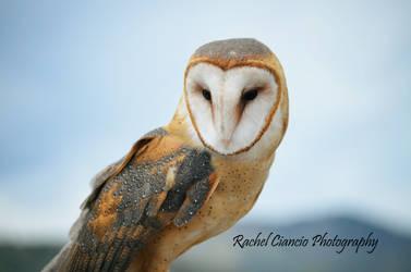 Barn Owl by rachkitty