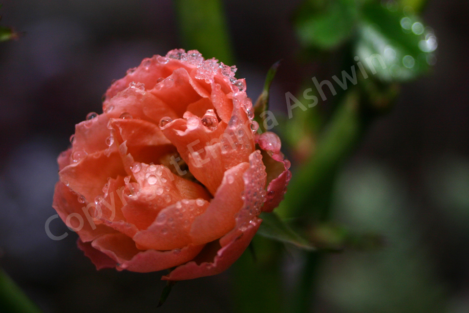 A winter rose. by emmaashwin