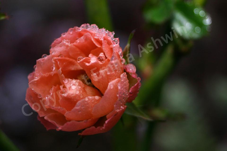 A winter rose. by emmaashwin