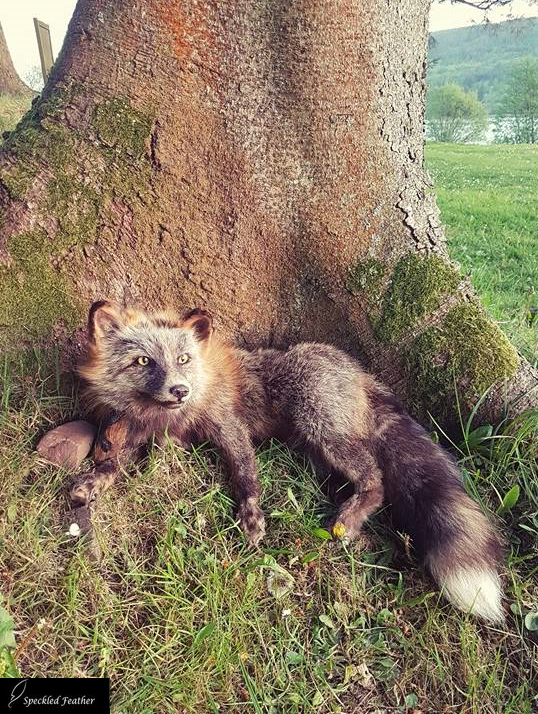 For Sale: Wild Cross Fox Soft Mount by Speckled-Feather