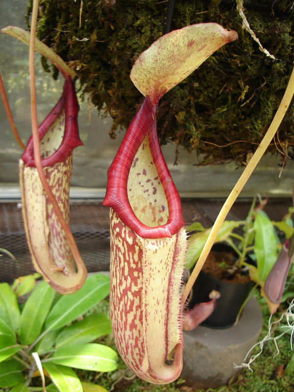 Pitcher Plant 01 by Beanie-STOCKings