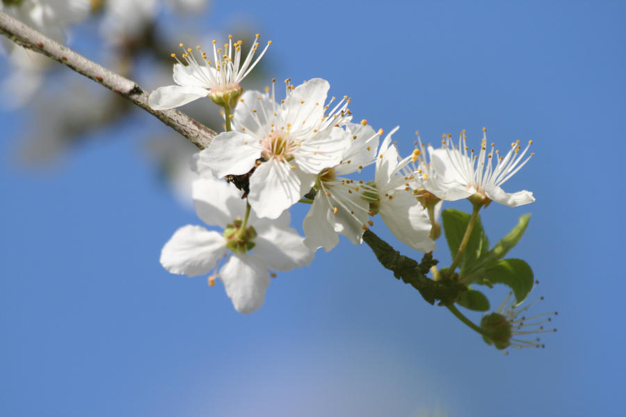 Apple Blossoms III by darkcalypso-stock