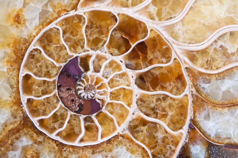 Ammonite 2 by JasonKaiser