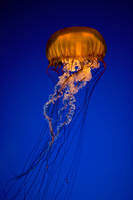 jellyfish by JasonKaiser