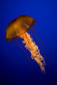 jellyfish 11