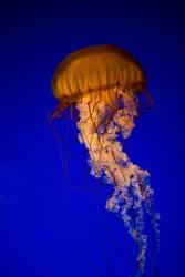 jellyfish 19