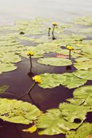 pond lily by JasonKaiser