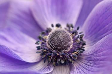 anemone 2 by JasonKaiser