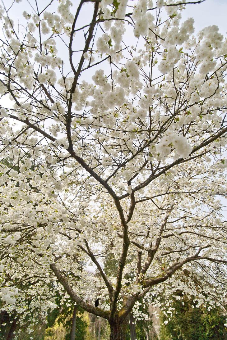 Cherryblossoms by JasonKaiser