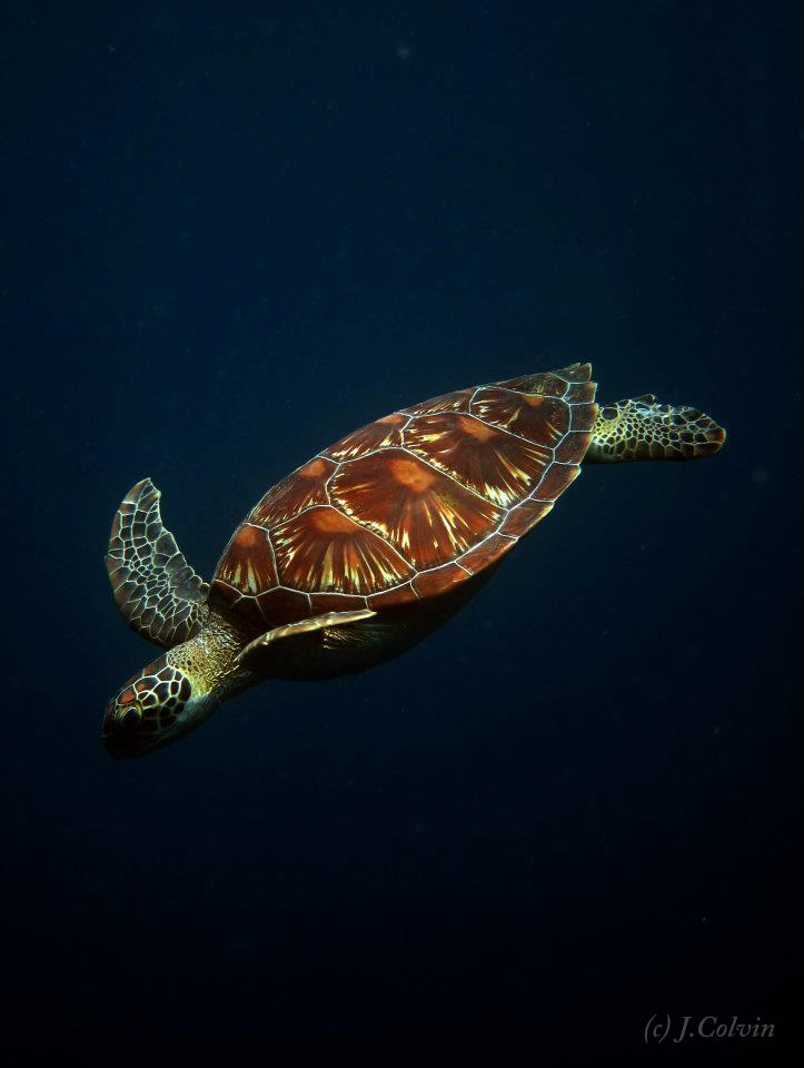 IMAGE: http://fc04.deviantart.net/fs71/f/2013/032/c/8/turtle_by_jacij-d5tg2e4.jpg