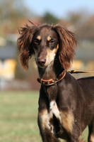 The Elegant Saluki by EarudienUndomiel