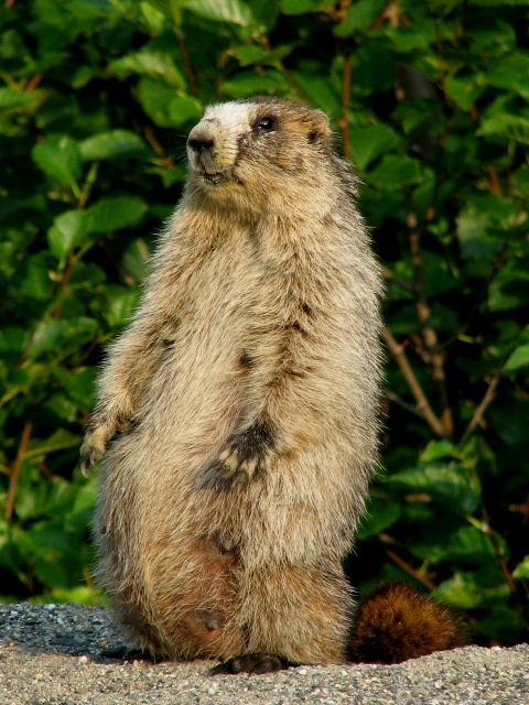 how to catch a marmot