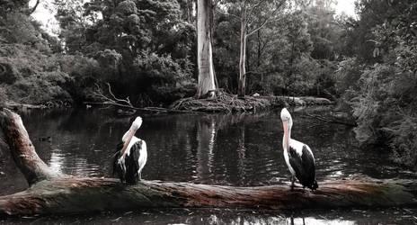 Pelicans by AmateurAperture