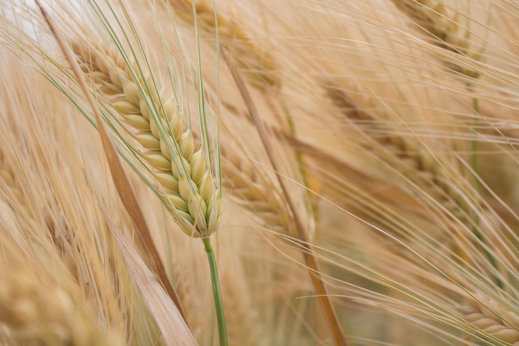 Wheat by moonchild-unveiled
