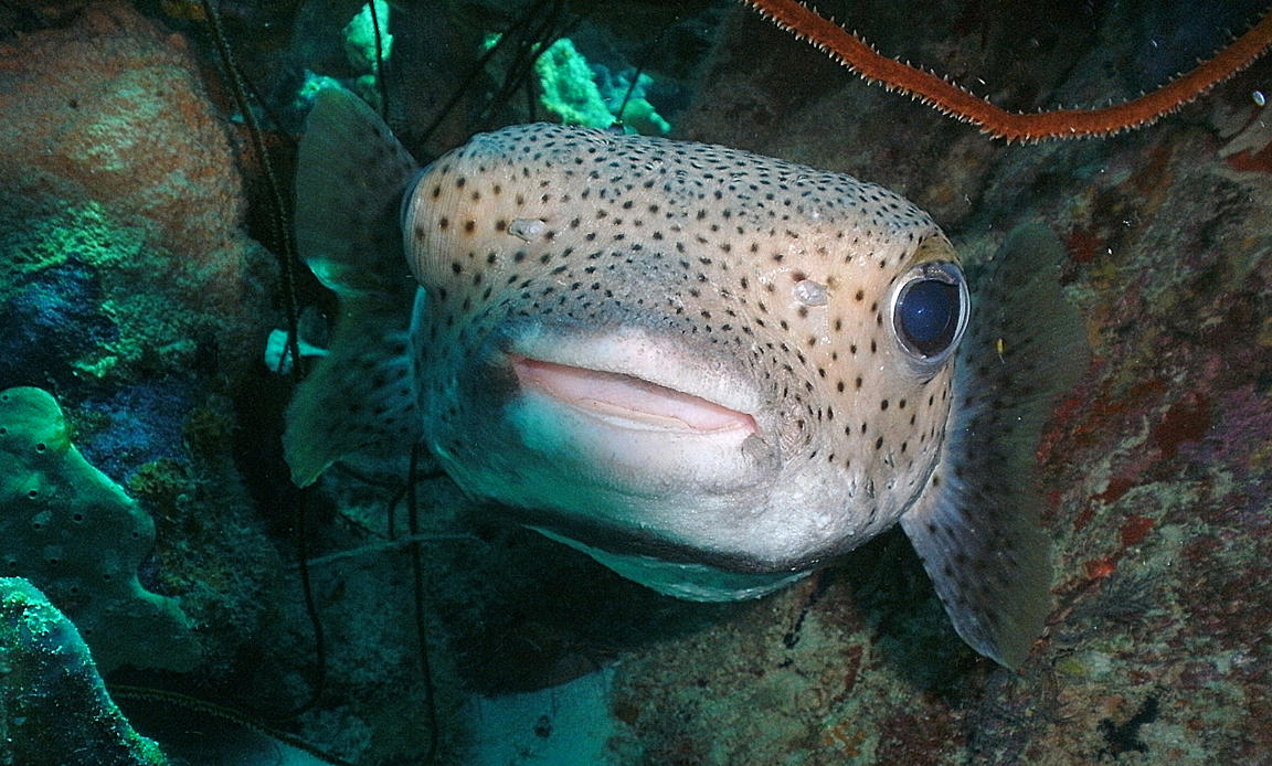 Porcupinefish in a cave by g--f
