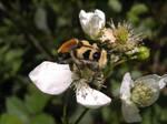 Like a bee by GuardianOfTheRose