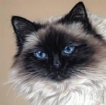 Cat Pastel 'Schuey'