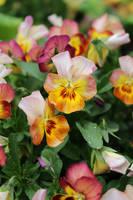Happy pansies by DelphineHaniel