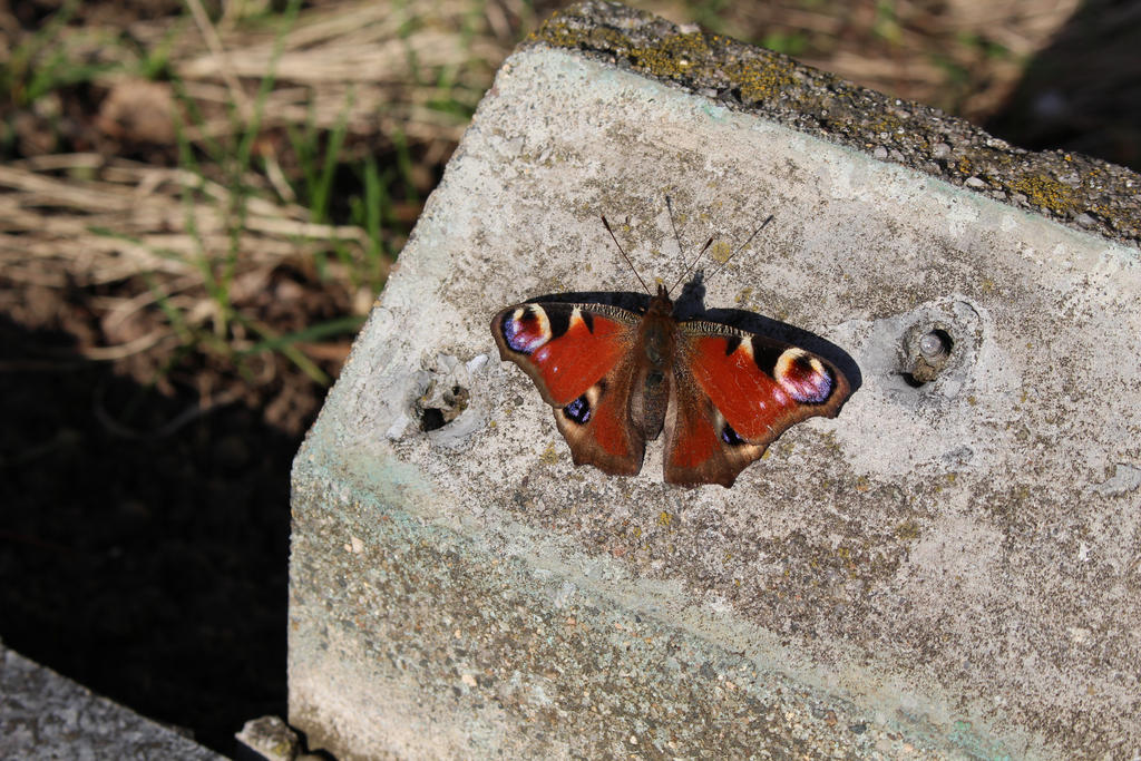 Aglais io The peacock butterfly by DelphineHaniel