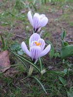 Spring beauty by DelphineHaniel