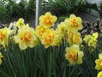 Daffodils by DelphineHaniel