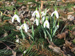 First snowdrops by DelphineHaniel