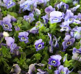 Light blue pansies by DelphineHaniel