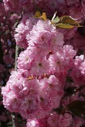 Cherry blossom by DelphineHaniel