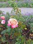 Roses by DelphineHaniel