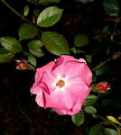 Winter rose photography