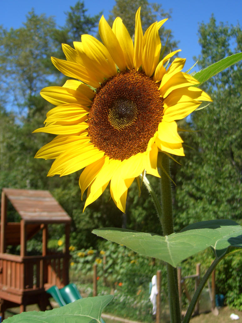 Sunflower by skydive1588