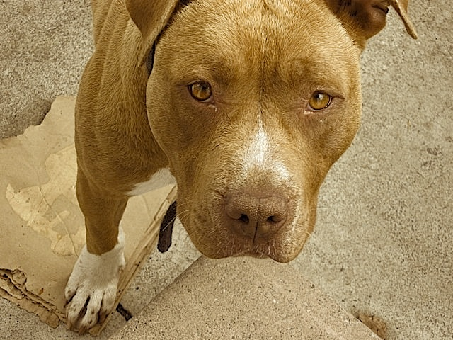 an argument in favor of keeping pit bull terrier as a pet