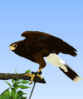 Harris' Hawk by shannor