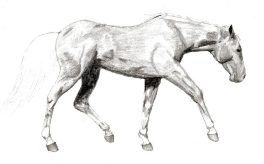 Quarter Horse Sketch b...