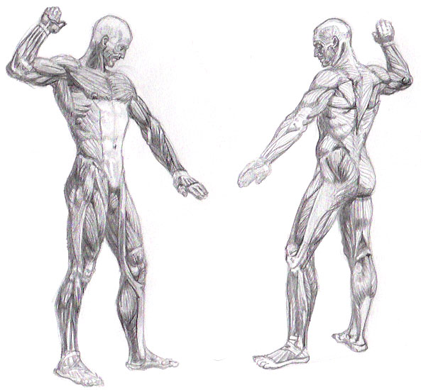 full body muscle system by rrog on deviantart, Muscles