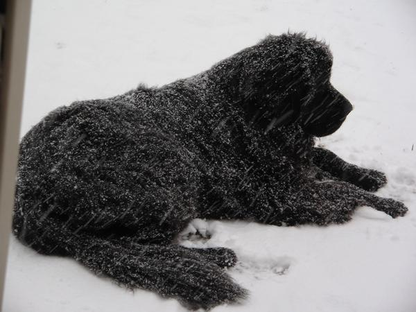 Newfoundland in the snow by argentrose17