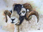 Sheep (male)