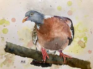Curious wood pigeon